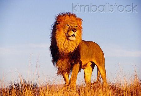 Lns 01 Rk0108 07 Full Body Shot Of Male Lion Standing On