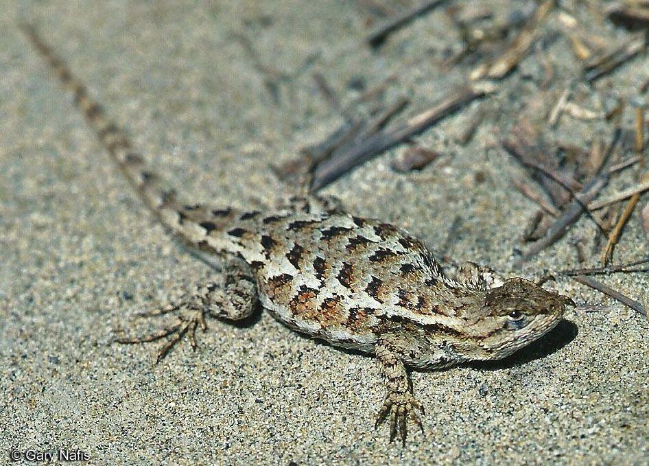 http://www.californiaherps.com/lizards/images ...