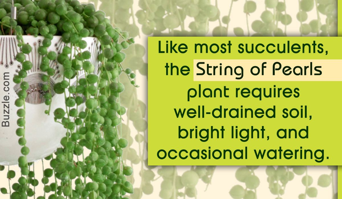 String of pearls plant care tips gardening pinterest plants