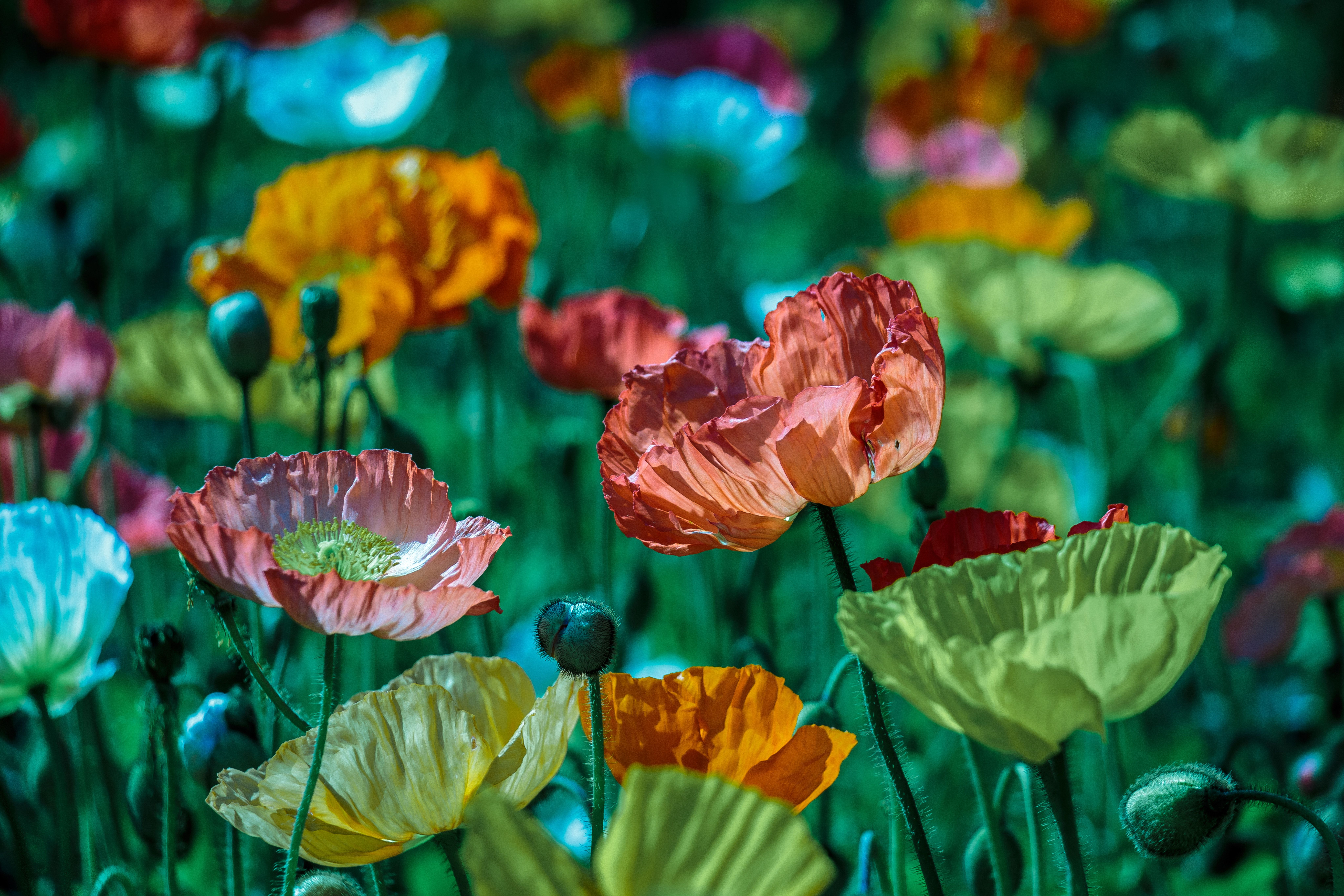 Poppy Flower Colorful And Color Hd Photo By Lina Angelov