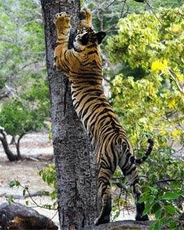 Wildlife in India...A Tiger