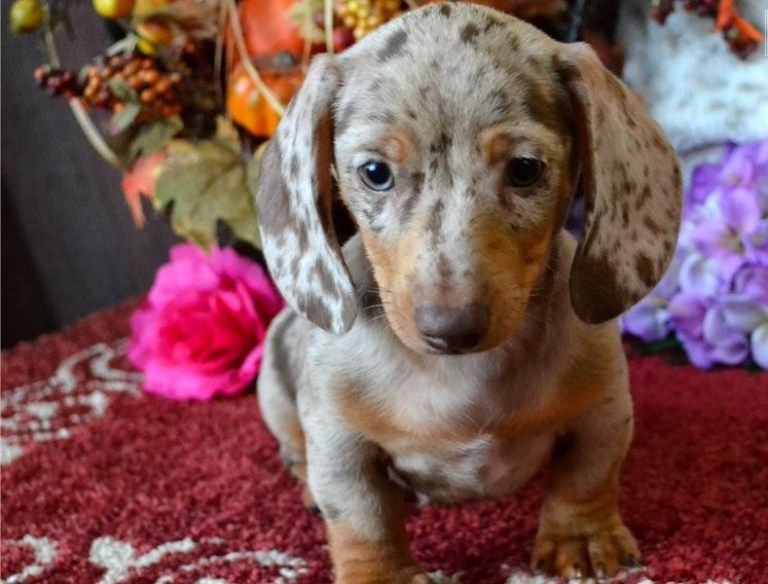 Available Puppies Galaxy Dachshunds Puppies Dachshund Dogs