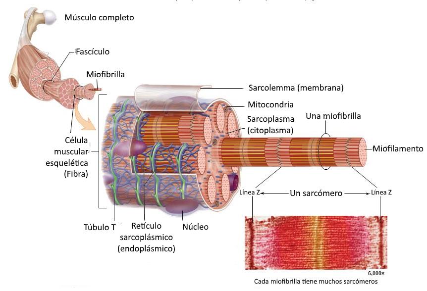 Los músculos esqueléticos son los encargados de mover el cuerpo (o ...
