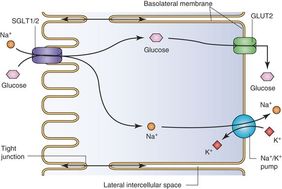 Sodium linked secondary active transport in the nephron is sodium linked secondary active transport in the nephron is responsible for the reabsorption of glucose ccuart Choice Image