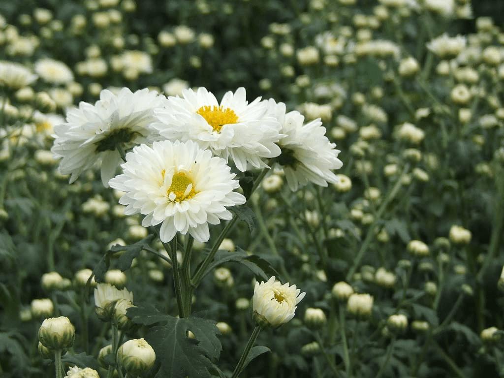 White Wild Chrysanthemum Flower Chrysanthemum Flower Pinterest