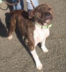 Adopt Wilma On Petfinder Animals Pitbull Terrier Animal Lover