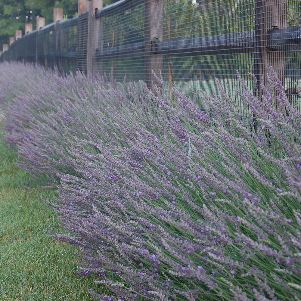 Lavender Phenomenal Lavandula X Intermedia Phenomenal