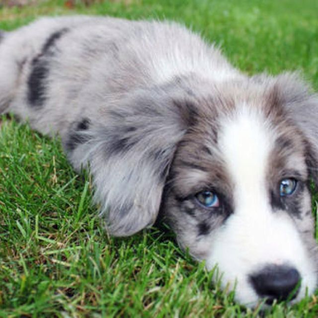 Border Collie Puppy Border Collie Puppies Collie Puppies Blue Merle Collie