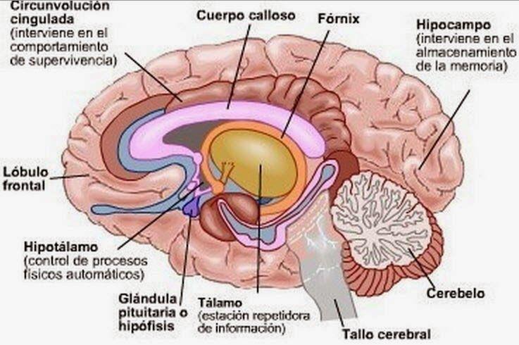 Salud Cerebral Anatomia Del Cerebro Humano Partes Del