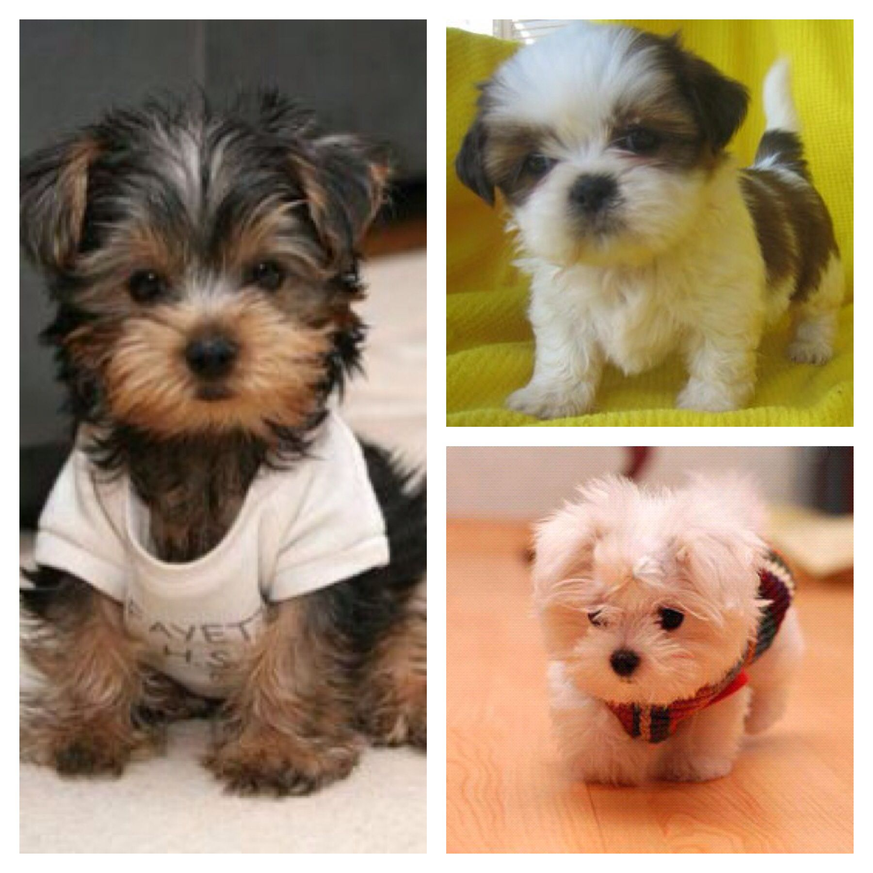 Day 10: Pets I\'ve always wanted. Teacup Yorkie, Teacup Shih tzu ...