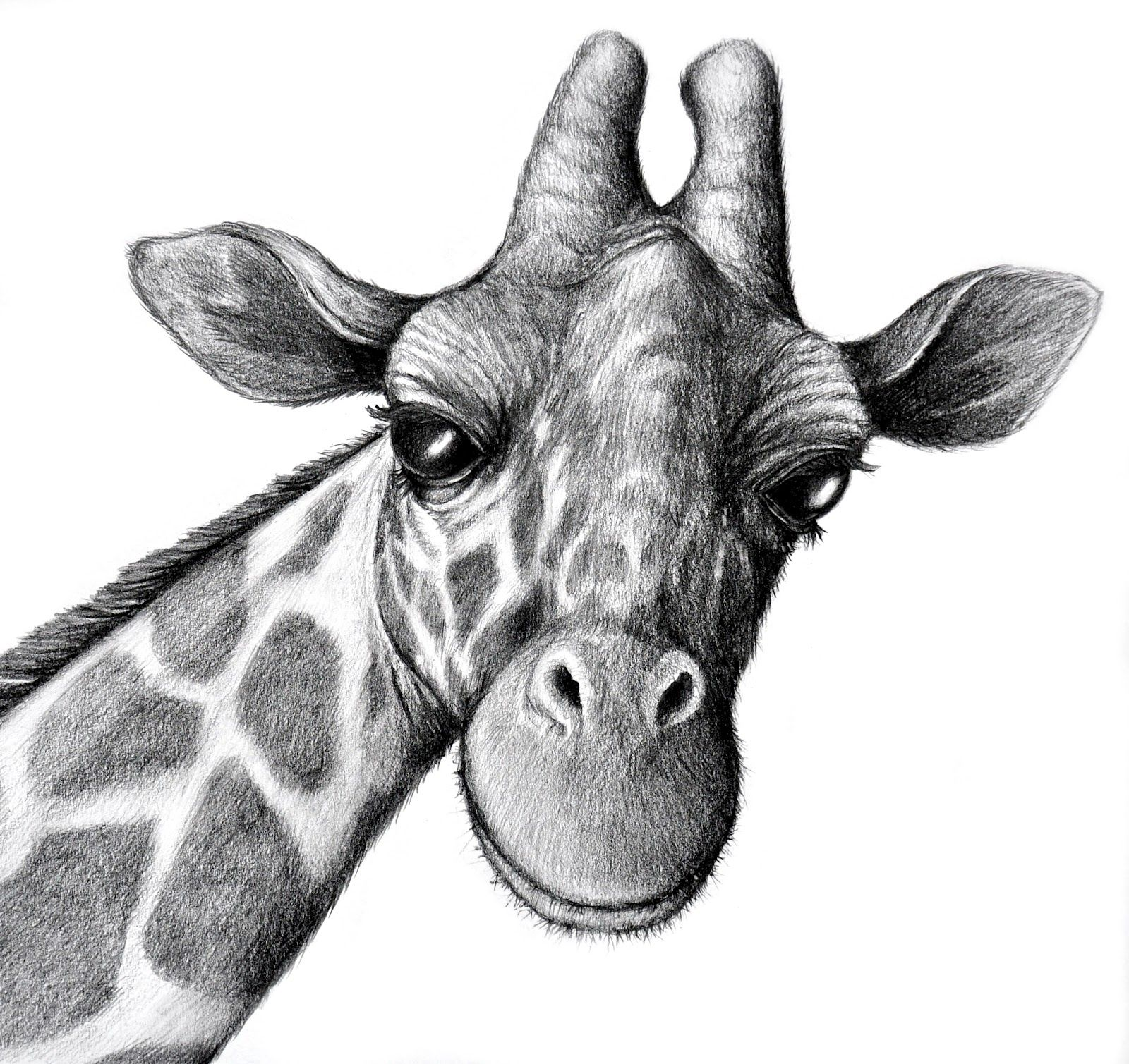 pencil drawings of animals - HD 1024×965