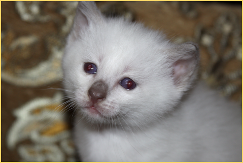 Kittens For Sale Applehead Siamese Cat Breeders Balinese Siamese Cat Breeders Balinese Cat Burmese Kittens