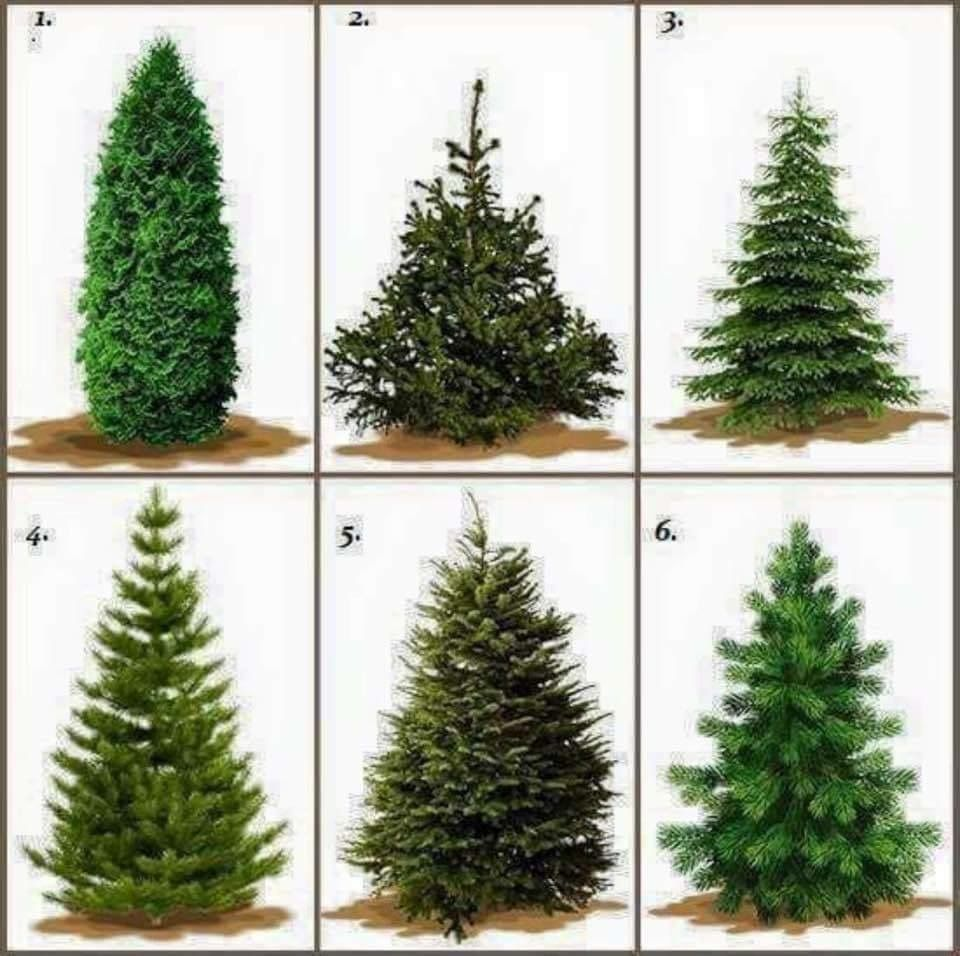 Pin By Ldh Boutique On Interactive Posts Types Of Christmas Trees Real Christmas Tree Christmas Tree