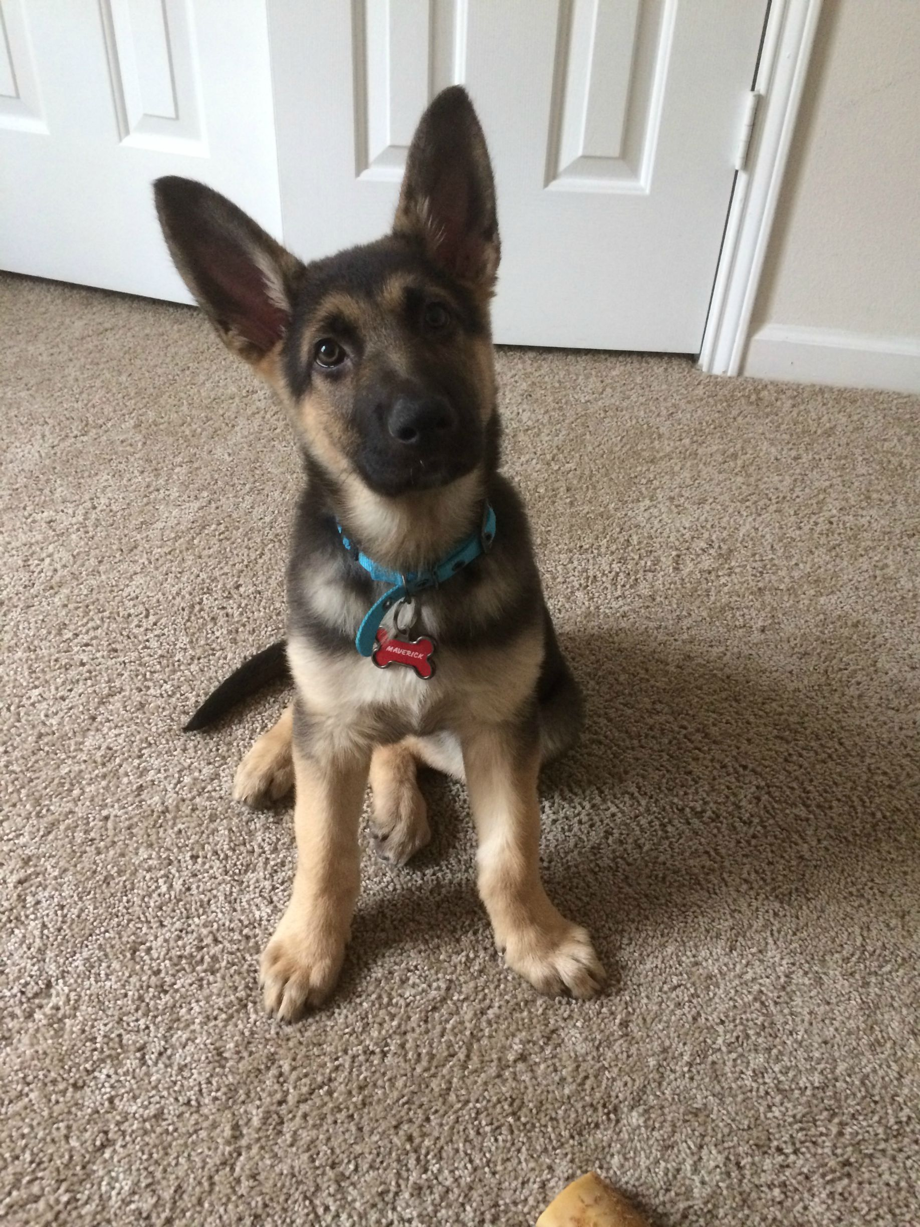 His ears stood up this week! Meet Maverick German