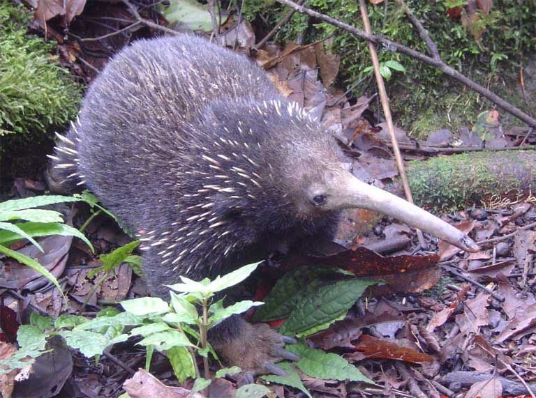 The Long Beaked Echidna Can We Save The Earth S Oldest Living Mammal