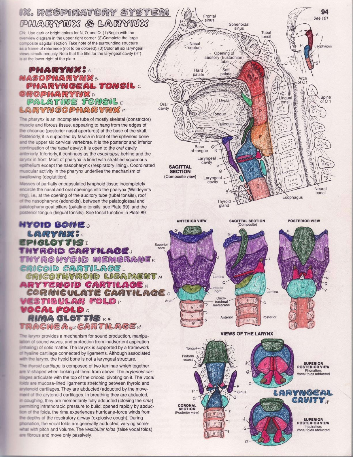 21 Netter S Anatomy Coloring Book In
