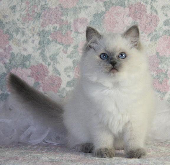 Fluffy Puffy Kitty Cat Ragdoll Kitten Ragdoll Cat