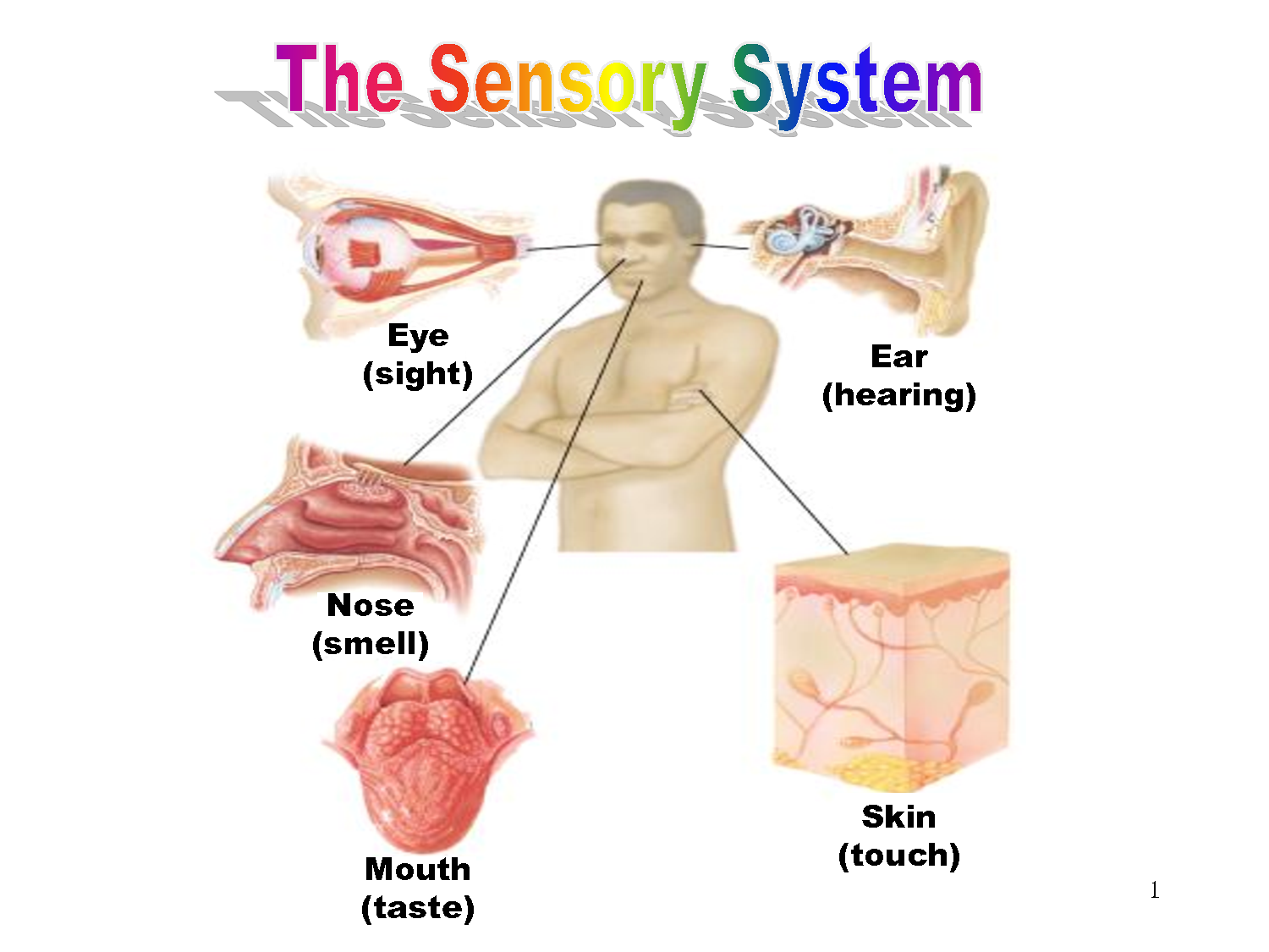"study into the sensory system in human body Human sensory reception, means by which humans react to changes in external and internal environments ancient philosophers called the human senses ""the windows of the soul,"" and aristotle described at least five senses—sight, hearing , smell , taste , and touch."