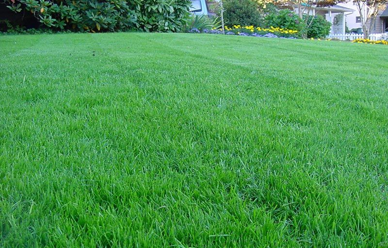 Kentucky Bluegrass Lawn Care is part of lawn Maintenance Drought Tolerant - Kentucky Bluegrass Lawn Care  Kentucky bluegrass develops a shallow root system that is not drought tolerant and will go dormant during extreme conditions