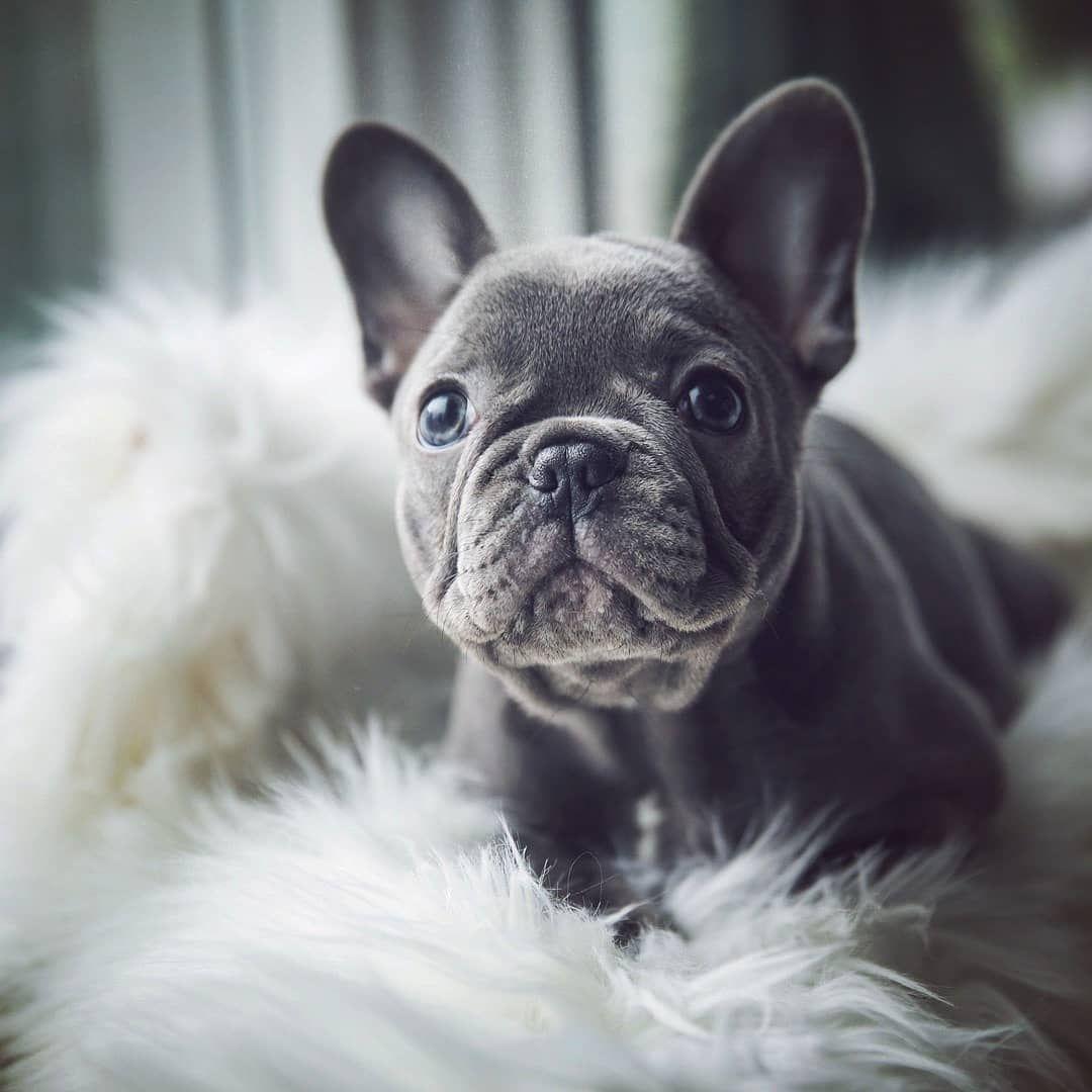 N A L A Babybluenala French Bulldog Puppies Pets Puppies