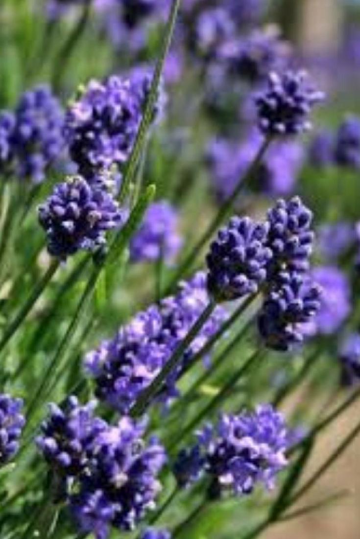 Beautiful Munstead English Lavender Best Lavender For Summer Heat