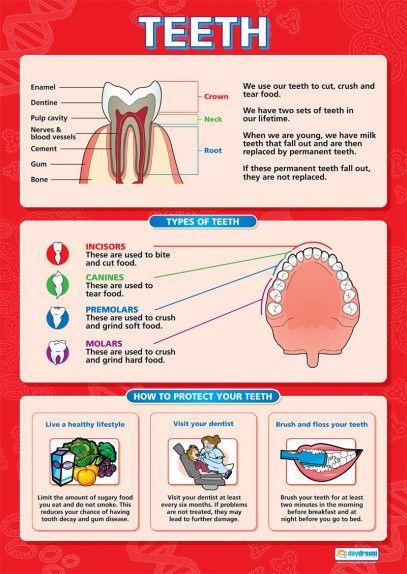 Teeth Poster   Ingles   Pinterest   Anatomía