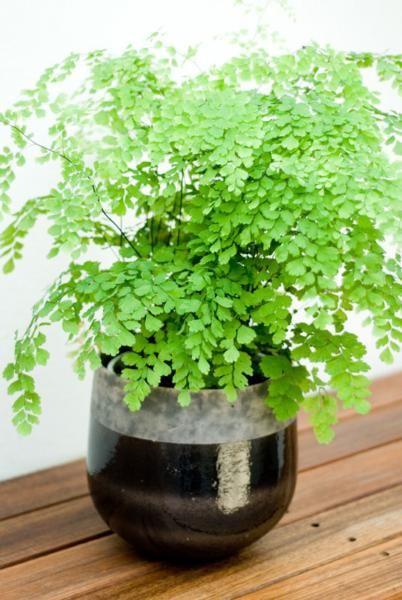 adiantum fern flower child pinterest foug re plantes et int rieur. Black Bedroom Furniture Sets. Home Design Ideas