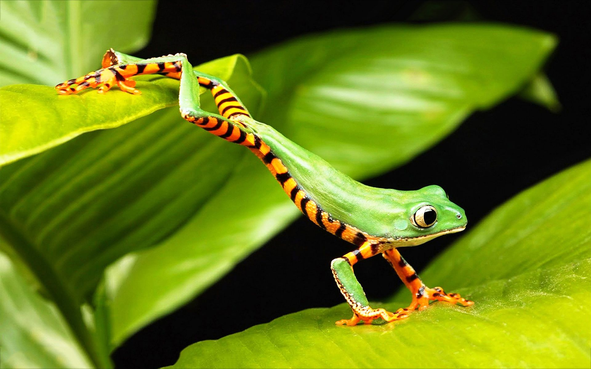 green tree frog leaping wallpaper tree frog jump макро мир