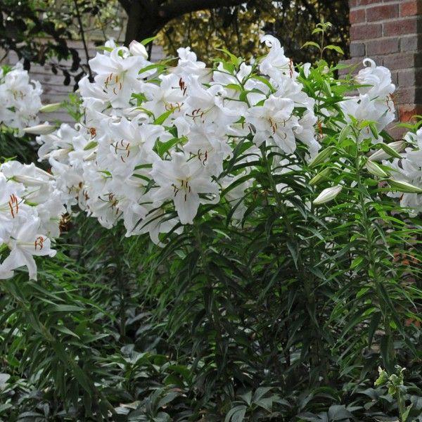 Wer weiße Lilien mang, wird \'Casa Blanca\' im Garten lieben. Lilien ...
