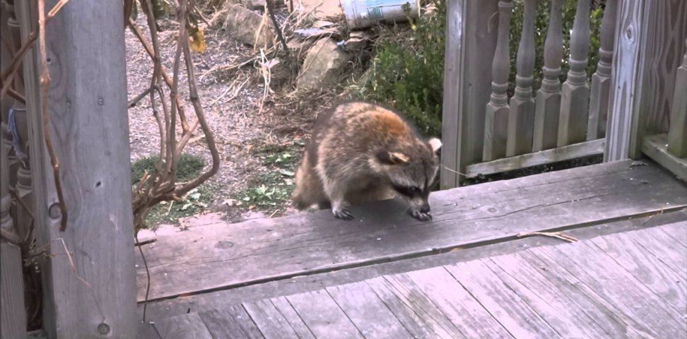 Woman Gives Food to Blind Raccoon, Then Hits Records When