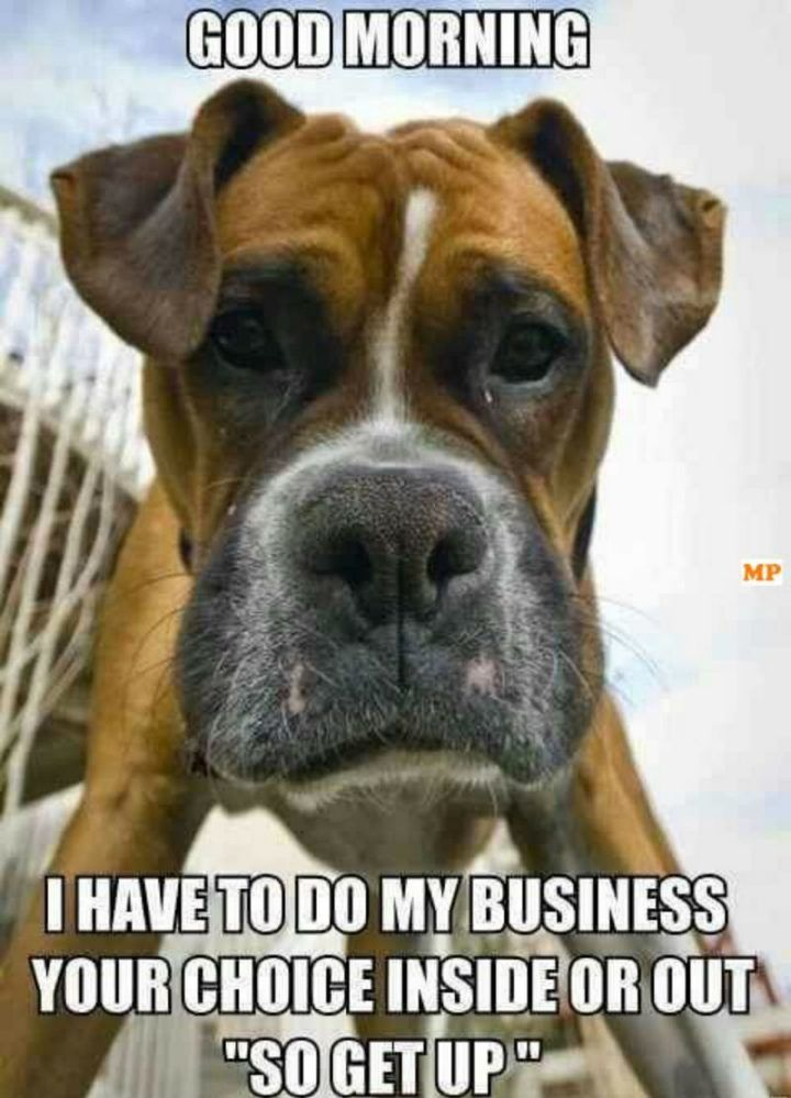 101 Funny Good Morning Memes Good Morning I Have To Do My Business Your Choice Inside Or Out So Get Up Boxer Dogs Funny Boxer Dog Quotes Funny Boxer