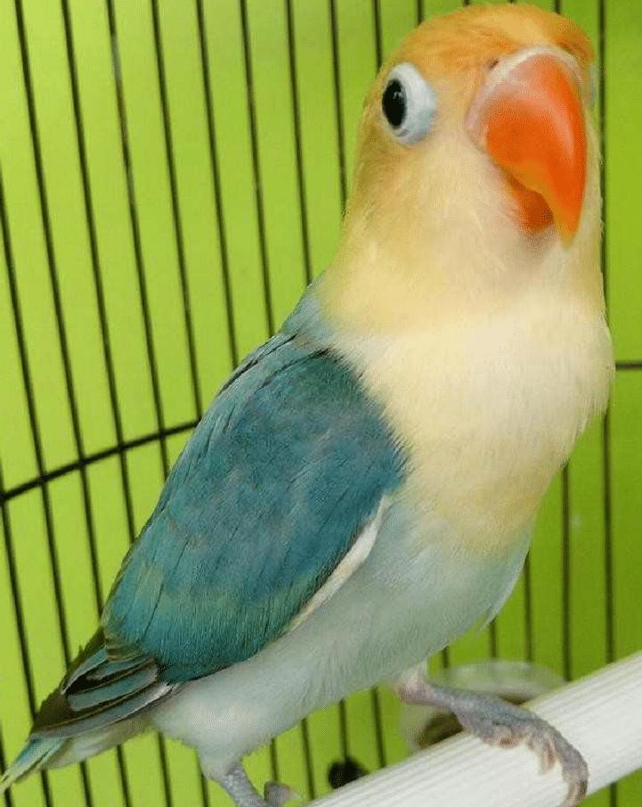 Mengetahui Hasil Persilangan Lovebird Violet Dan Parblue Burung Cantik Warna Burung