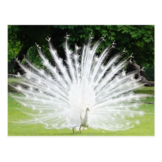 Albino-Peacock Postcard | Zazzle.com