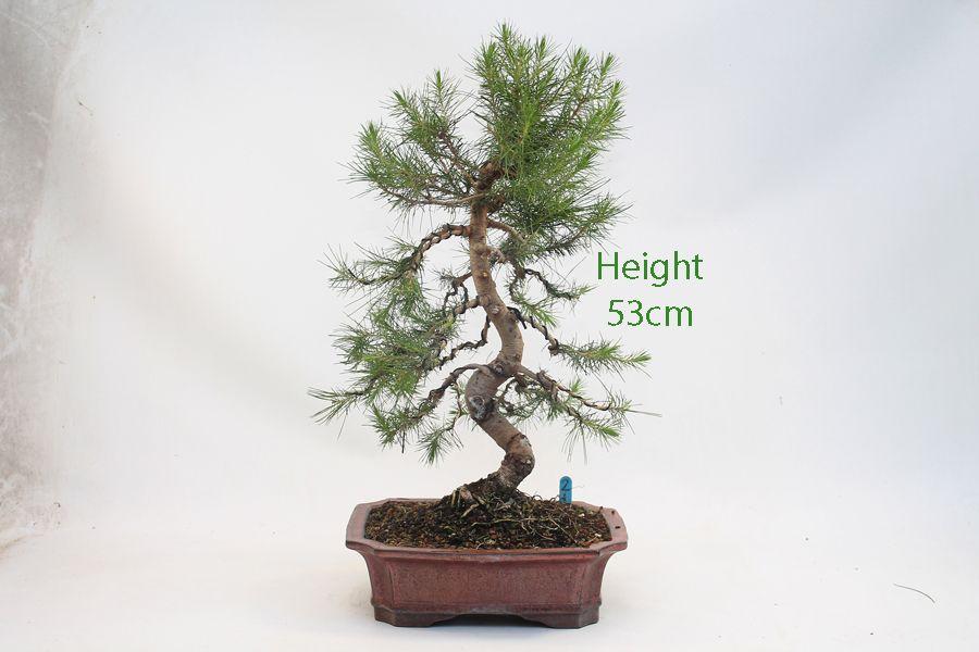 Image Result For Aleppo Pine Bonsai Pine Bonsai Bonsai Plants