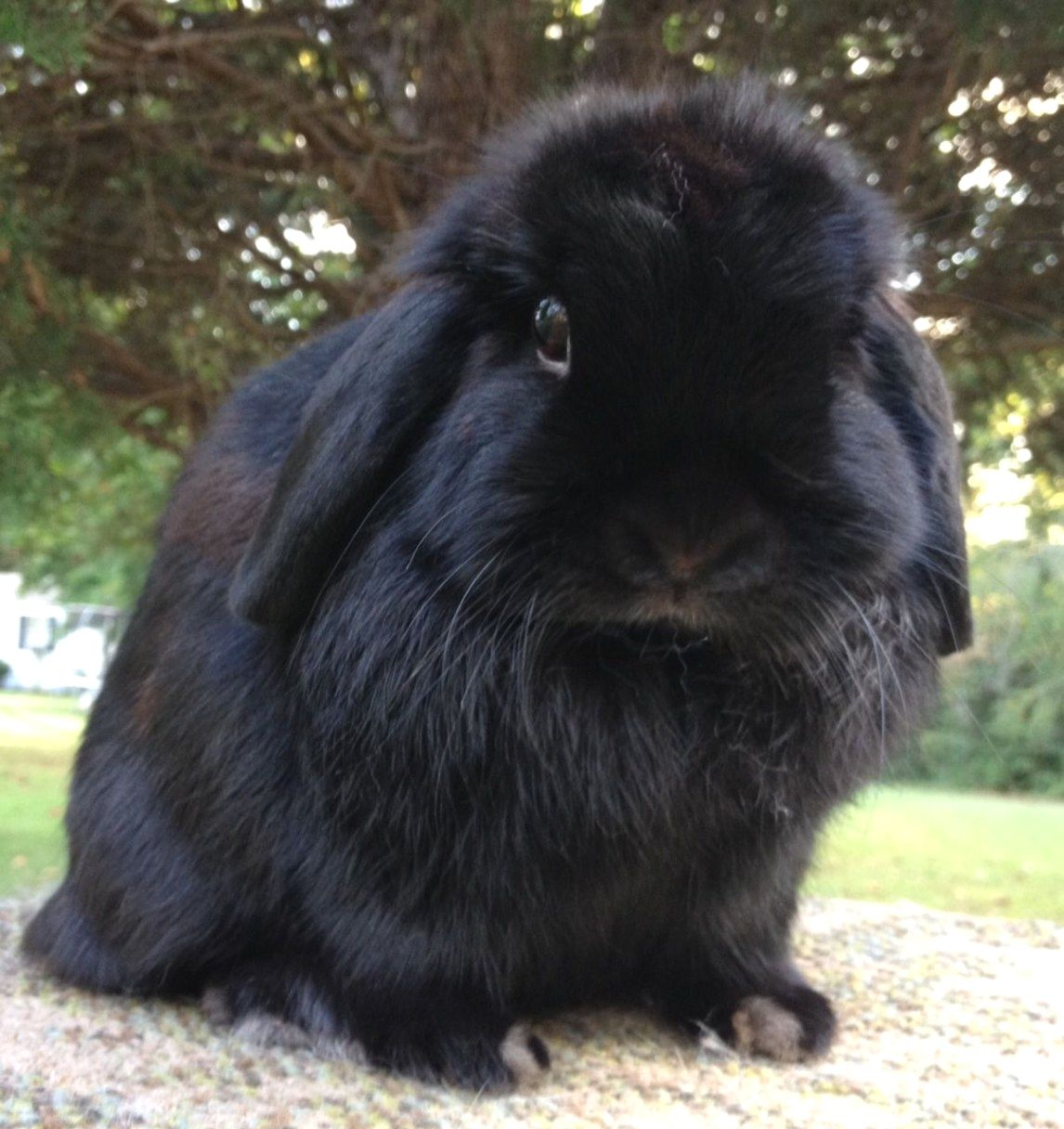 Holland Lop Eared Rabbits Little Bigger Than A Mini Lop Eared