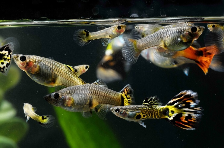 The Complete Guppy Care Guide Breeding Tank Requirements Fancy Varieties Fishkeeping World Guppy Fish Guppy Fish