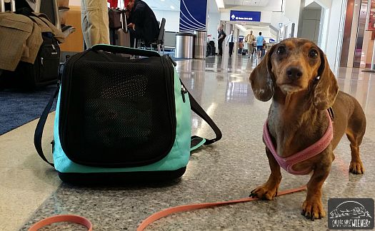 I Recently Flew With My Small Dog In Cabin. I Used The Airline Approved  Sleepypod Air Pet Carrier For Our Trip.