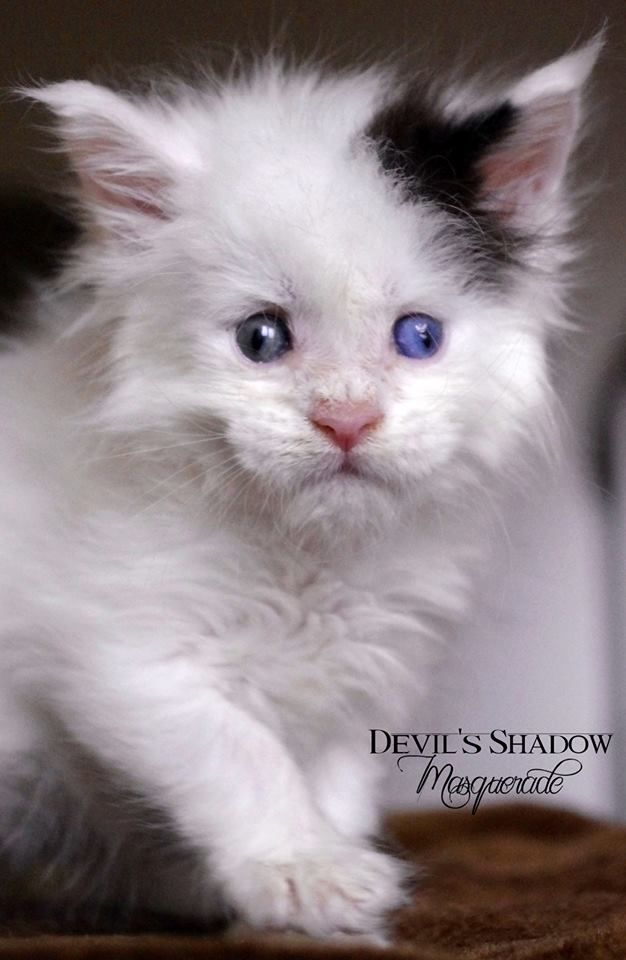 Odd eyed white maine coon