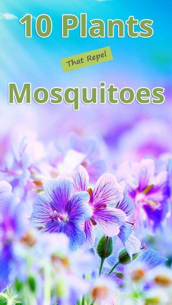 10 Plants That Repel Mosquitoes 10 Plants That Repel Mosquitoes 10 Plants That Repel Mosquitoes 10 Plants That Repel Mosquitoes 10 Plants That Repel Mosquitoes 10 Plants...