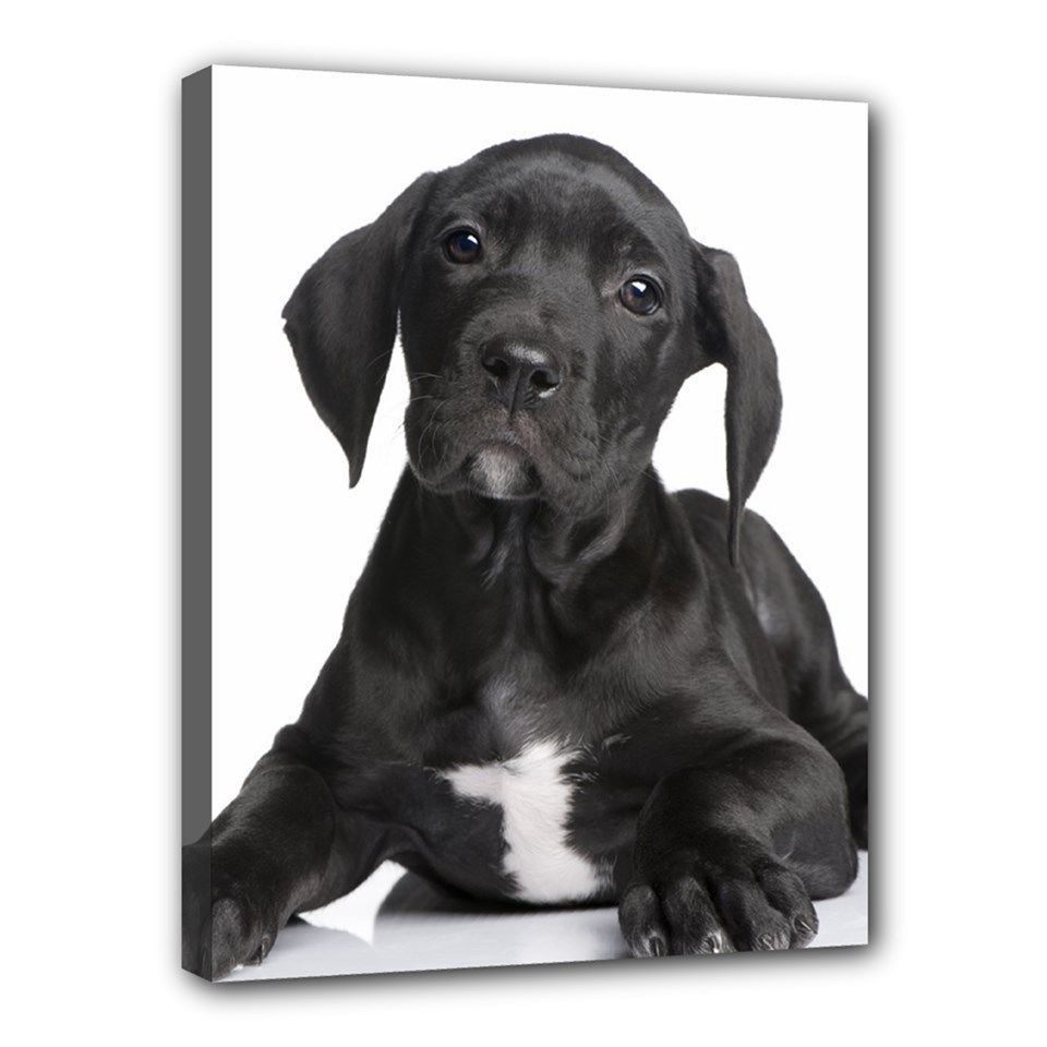 "New GREAT DANE Dog Art Portrait 11""x14"" Wrapped CANVAS"