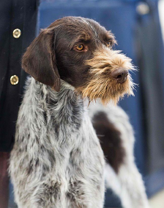 Bearded Hunting Dog Breeds Dengan Gambar