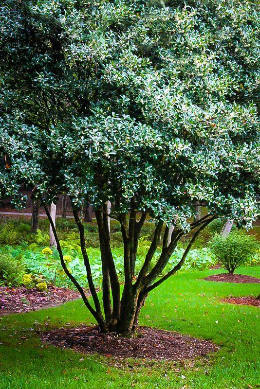 Fragrant Tea Olive Olive Trees Garden Tree Garden Design Olive