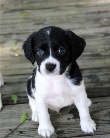 Meet Camino, a Petfinder adoptable Spaniel Dog | Barrington, RI | For more information about this puppy and all of his/her siblings, please email:...