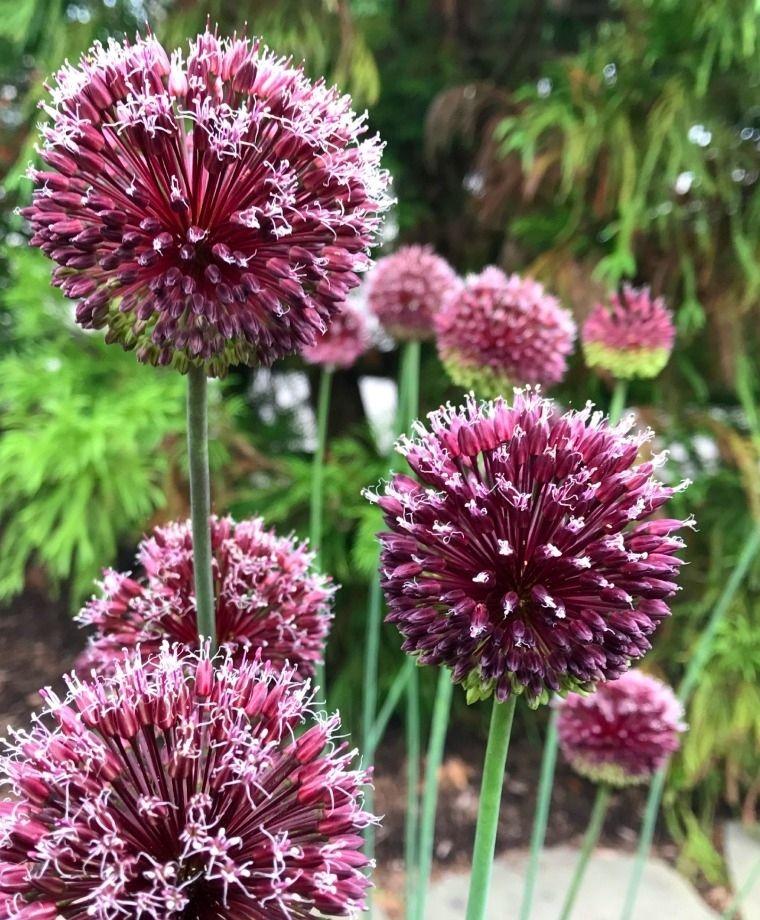 Allium Forelock Allium Allium Bulb Flowers Flowers