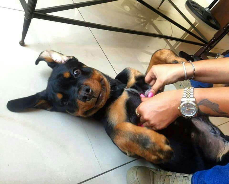 Akc Rottweiler Puppies For Sale In Arizona References