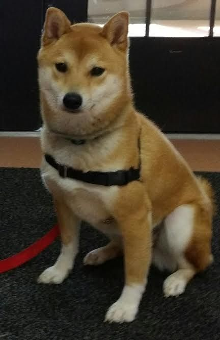 Shiba Inu Rescue Fostering And Adoption In And Around New York City Animales