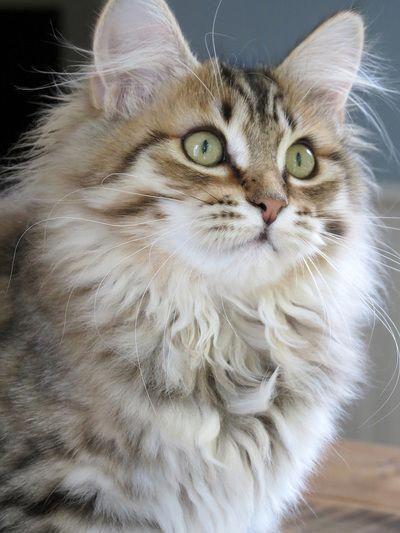 Siberian Cat Cats Kittens Siberian Kittens Cute Cats