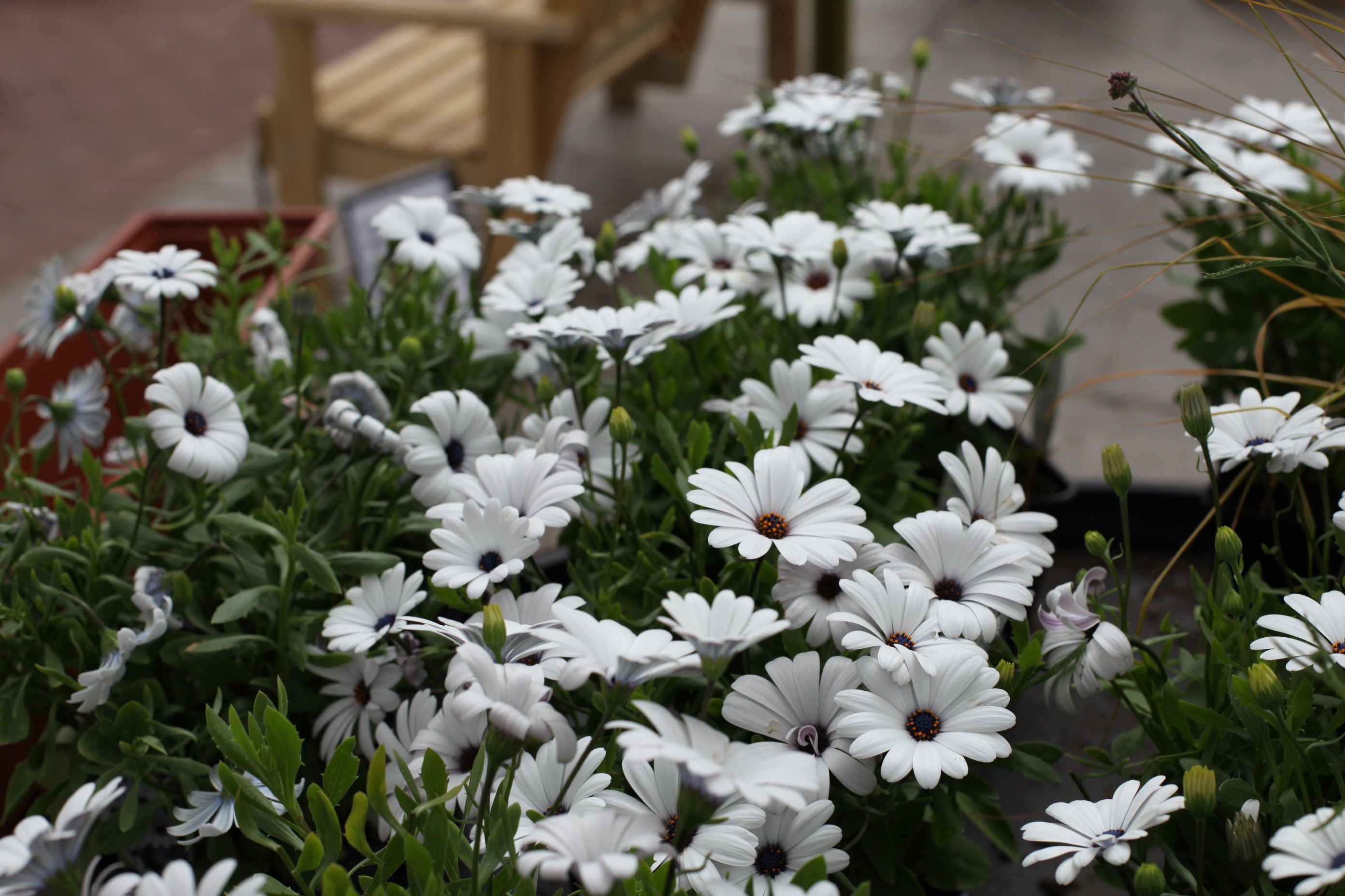 Osteospermum Zanzibar White Masses Of Bright White Daisy Like