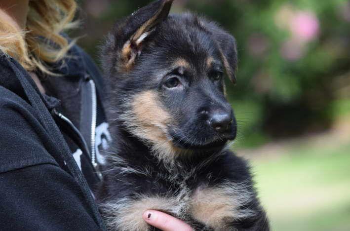 German Shepherd Puppies For Sale In New England German Shepherd
