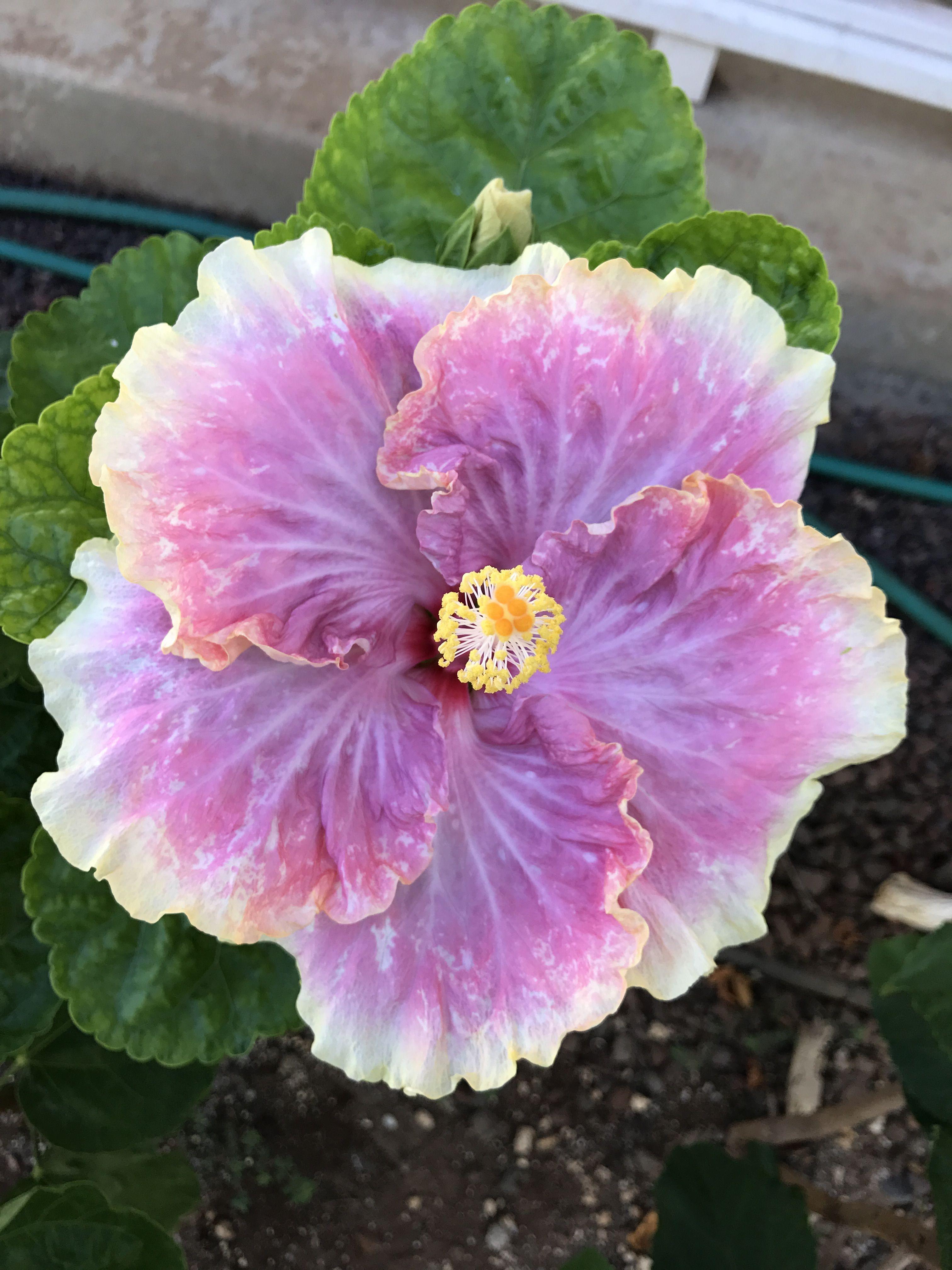 Cajun Princess Hibiscus Hibiscus Pinterest Hibiscus Flowers